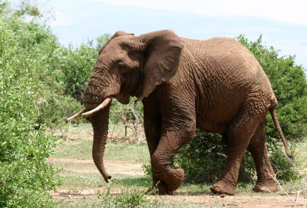 African_Elephant_walking